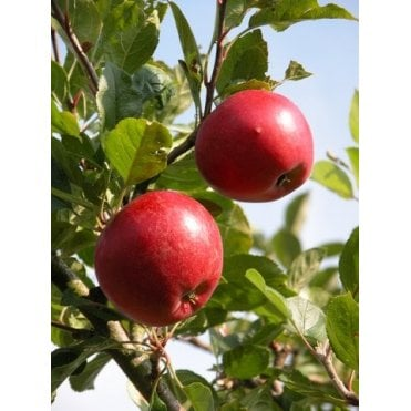 Hedging plants, Evergreen Hedges, Shrubs & Trees | Mill Farm Plants